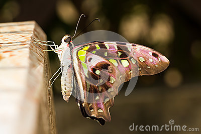 New  emerge tailed jay butterfly