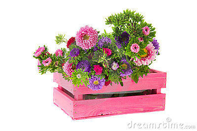 New England Asters in crate
