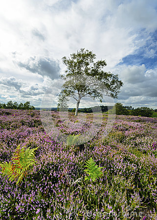Free New Forest Heather Stock Photography - 33789692
