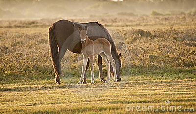 New Forest pony mare and foal at sunrise
