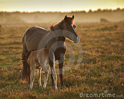 New Forest pony mare and foal in sunrise light