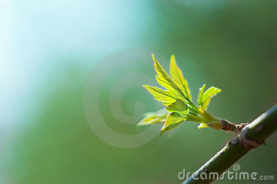 New fresh leaves on a branch