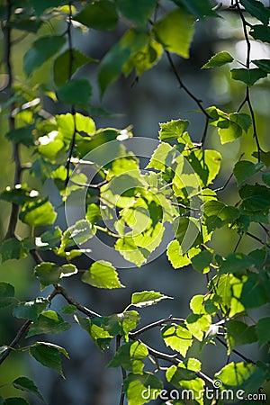 New green leaves glowing in sunlight