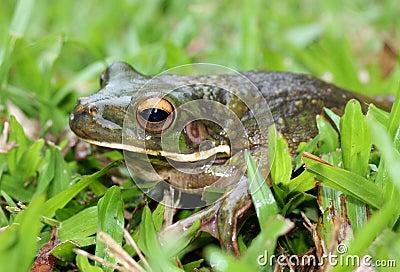 New Guinea Frog
