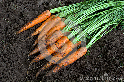 New harvest fresh organic carrots on soil