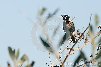 New Holland Honeyeater bird on perch