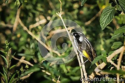 New Holland Honeyeater bird on perch