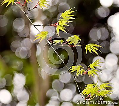 New leaves on Japanese tree
