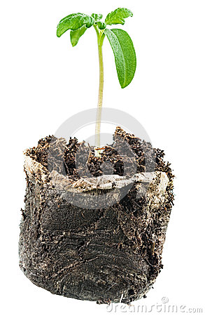 New life. Sapling before planting in open ground
