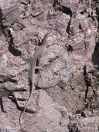 A New Mexican Whiptail Lizard on a Rock
