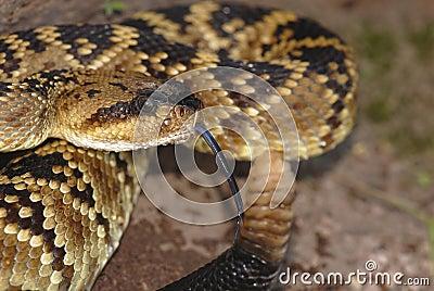 New Mexico Crotalus molossus