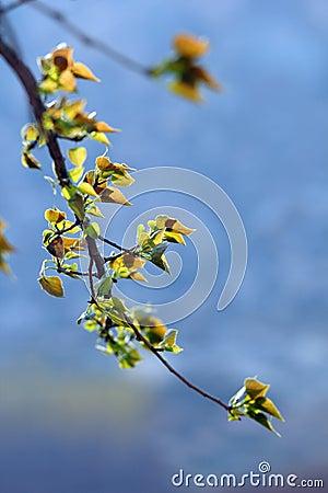 New poplar leaf
