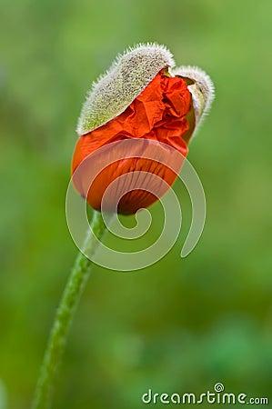 New poppy