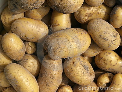 New potatoes. Autumn Harvest.