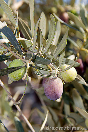 New ripening olives