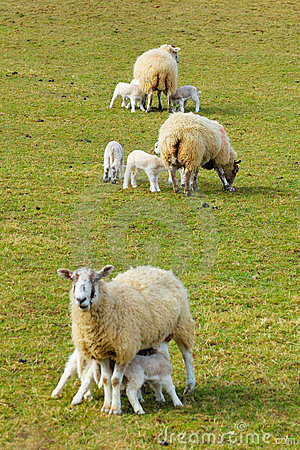 Free New Spring Lambs Stock Images - 11420004
