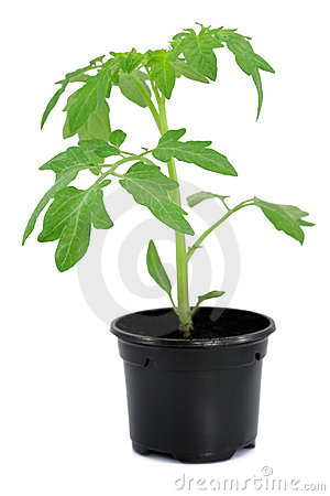 Free New Tomato Sprout In Pot Royalty Free Stock Image - 9255666