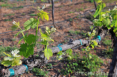 New Vineyard Growth