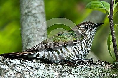 New Zealand Cuckoo