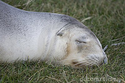 New Zealand fur seal on grass