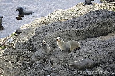 New Zealand fur seals on the rocks