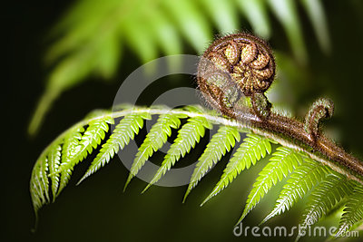 New Zealand iconic fern koru