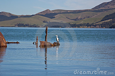 New Zealand King Shag