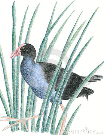 Free New Zealand Native Bird Pukeko Royalty Free Stock Images - 16214699