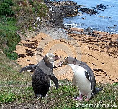 Free New Zealand Penguins Royalty Free Stock Image - 20829796