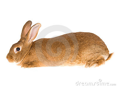 New Zealand Red domesticated rabbit, on white back