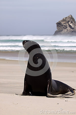 Free New Zealand Sea Lion, Phocarctos Hooker, Stretches On The Sandy Beach, South Island New Zealand Royalty Free Stock Photography - 66504657