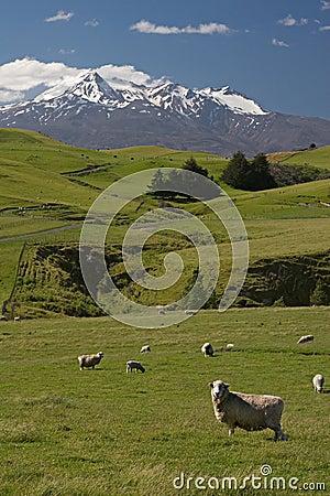 Free New Zealand Sheep Farm Stock Photo - 446950