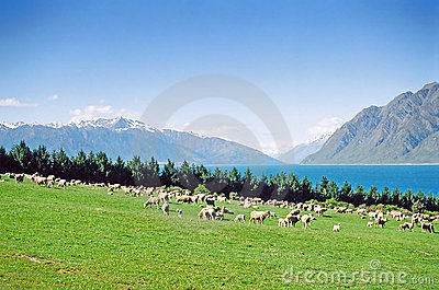 New Zealand Sheep Grazing