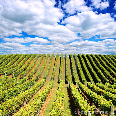 Free New Zealand Vineyard Royalty Free Stock Photo - 4057125