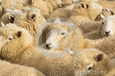 New Zealnad Lambs
