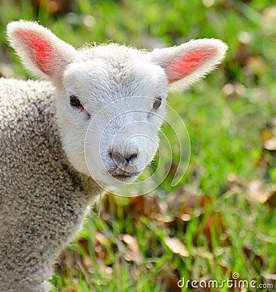 Newborn baby lamb