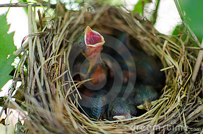 Newborn bird cry for food in the nest