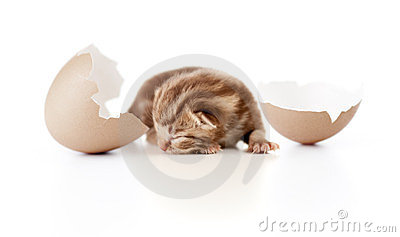 Newborn british baby cat with eggshell on white
