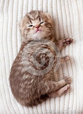 Newborn british baby kitten lying on wool