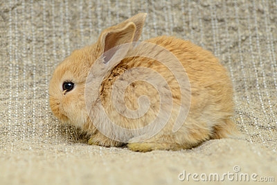 Newborn brown rabbit