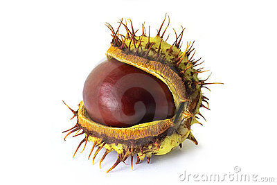 Newborn chestnut