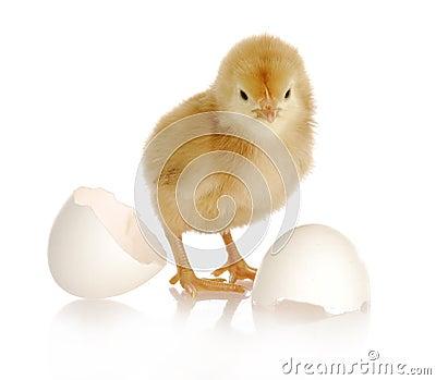 Newborn chick