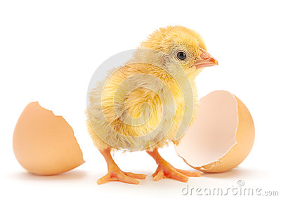 Newborn chicken