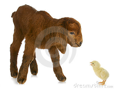 Newborn farm animals