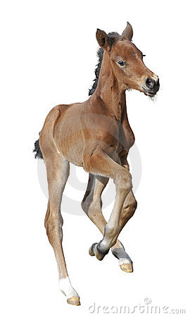 Newborn foal isolated on white
