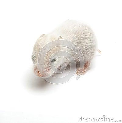 Newborn hamster