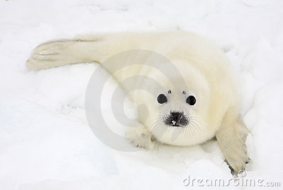 Newborn Harp Seal Pup Royalty Free Stock Image - Image: 4668206