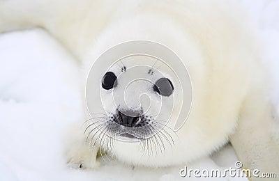 Newborn harp seal pup