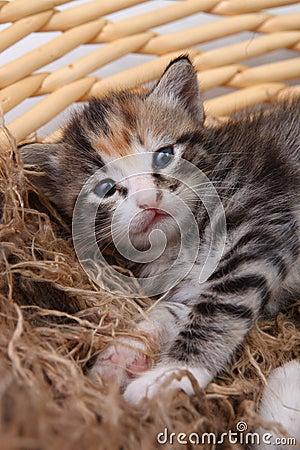 Newborn Kitten in a Basket