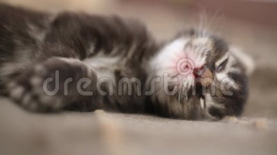 Newborn kitten Maine Coon sleeping and stretches. In his sleep. 1920x1080 stock video